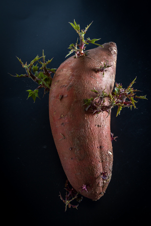 waited: close up of a sweet potato that sat on the counter for too long and now has stems and leaves growing out of it