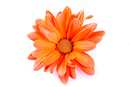 deep orange: close up of a beautiful daisy in a deep orange color for a spring concept