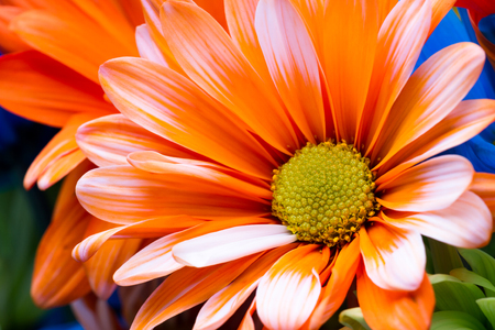 Close Up Of A Beautiful Daisy In A Deep Orange Color For A Spring