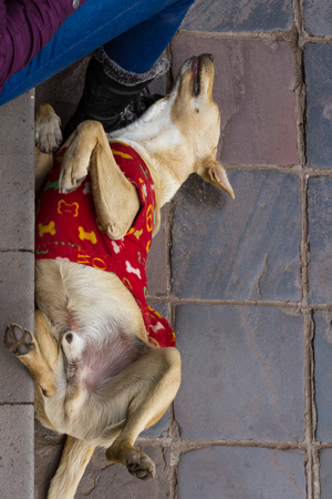 warm shirt: relaxing friendly dog in the city of Cusco wearing a red shirt to keep warm at night Stock Photo