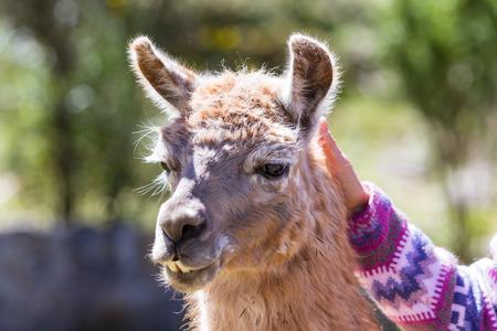 close up of a tourist petting a llama in chinchero Peru Stock Photo