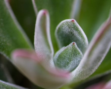 close up of a small succulent plant with a fuzzy texture