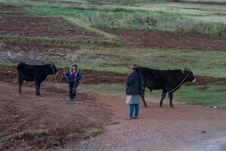 Peru - May 17 : Lifestyle of a family in rural Peru putting their cattle away for the night. May 17 2016, Peru.