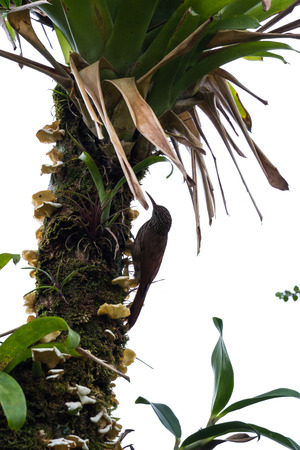 pecker: a gray female woodpecker clinging from a tall palm tree pecking for food