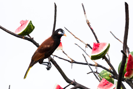 large bird: wild passerine bird known as an Oropendola perched on a large bird feeder in Costa Rica