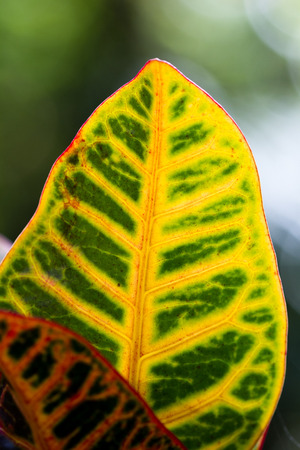 close up of a colorful tropical leaf with a vivid green and yellow color as a background Stock Photo