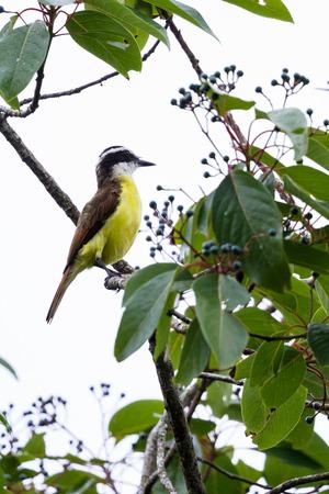 turismo ecologico: kiskadee gran alza sobre una pequeña rama en la selva tropical de San Carlos, Costa Rica Foto de archivo