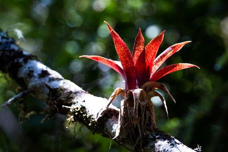 parasitic: close up of a beautiful parasitic plant in the rainforest of Costa Rica