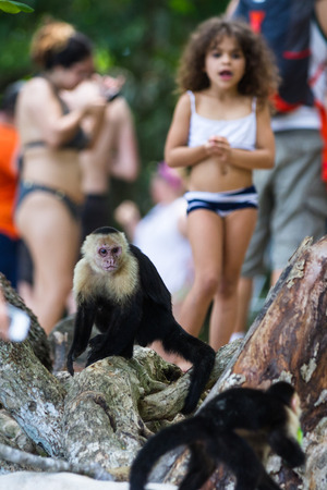 Manuel Antonio, Costa Rica - May 06: white faced monkeys entertaining the tourists in the natural park. May 06 2016 Manuel Antonio, Costa Rica.