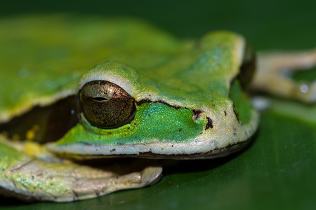 close up of a small masked frog on a a large green leaf in Costa Rica