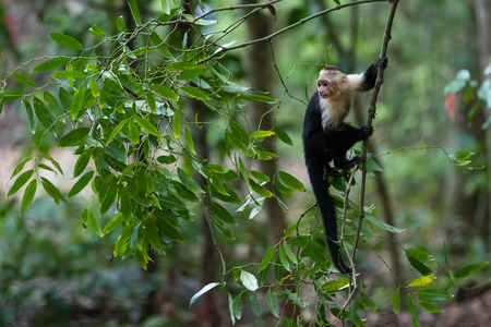 white faced monkey in Manuel Antonio natural park in Costa Rica Imagens - 65021439