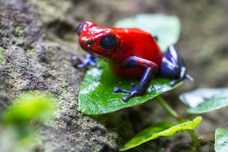 poison dart frogs: close up of a strawberry poison dart frog in the rain forest in Costa Rica Stock Photo