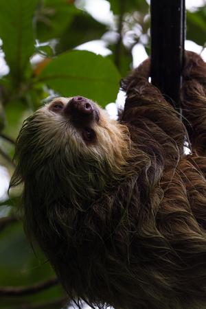 sloth: Cerca de una pequeña pereza cruzar la carretera usando las líneas de energía en Costa Rica