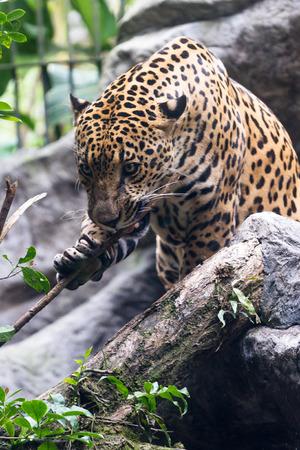 tigre: close up of a jaguar in a wildlife refuge in Costa Rica
