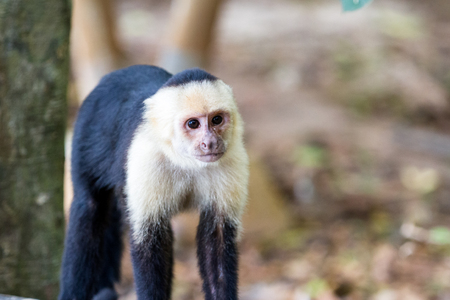 white faced monkey in Manuel Antonio natural park in Costa Rica