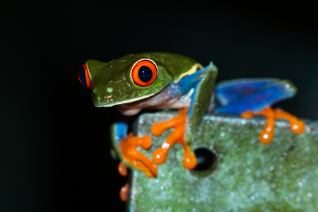 close up of a wild red eyed tree frog at night in a tropical setting near Arenal in Costa Rica
