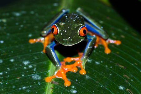 red eyed tree frog: close up of a wild red eyed tree frog at night in a tropical setting near Arenal in Costa Rica
