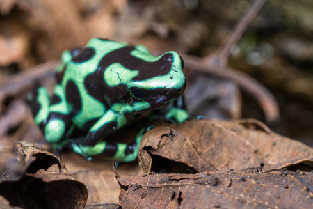 dart frog: close up of a green and black poison dart frog in the Costa Rican rainforest