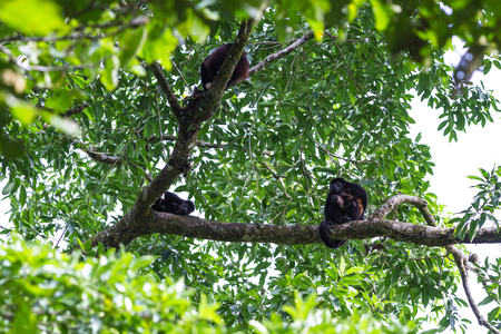 howler: road side natural scene in San Carlos, Costa Rica with howler monkeys up in the trees, including a baby with his mother Stock Photo