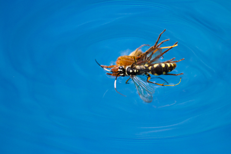 action shots of a spider wasp killing a spider by drowning it in a swimming pool in Costa Rica Archivio Fotografico