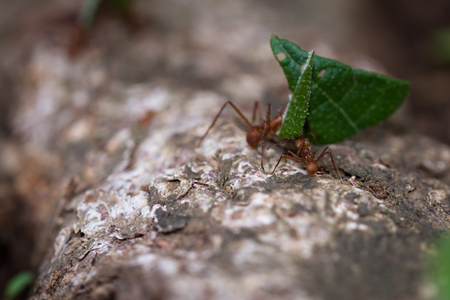 leaf cutter: macho of working leaf cutter ants bringing fresh cut vegetation back to their nest