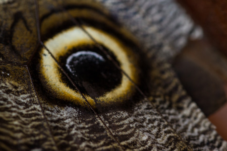eyespot: close up of the eye on the wing of an owl butterfly Stock Photo