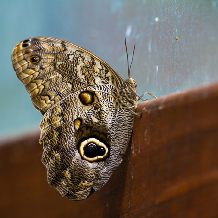 close up of an owl butterfly looking thru a dirty old glass window