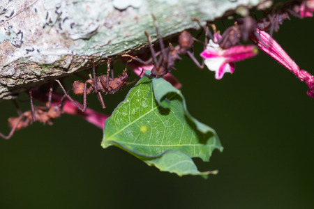 acromyrmex: macho of working leaf cutter ants bringing fresh cut vegetation back to their nest