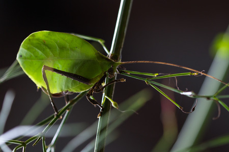 details on a leaf bug with very intricate pattern and realistic leaf green color found in the rainforest of Costa Rica