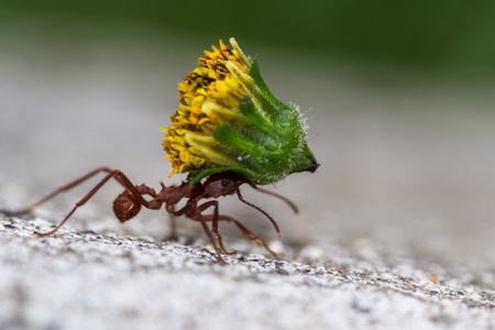 macro of a red leafcutter ant carrying a heavy yellow flower bud