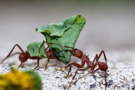 macro of  red leafcutter ants carrying green leaves