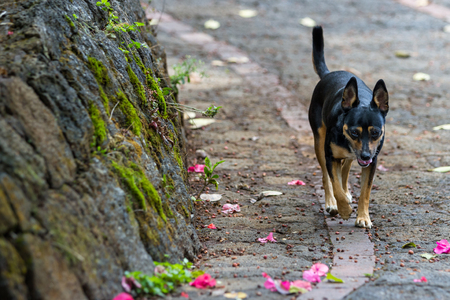 close up of a dog wandering on the streets in Costa Rica looking for someone to play with Stock Photo