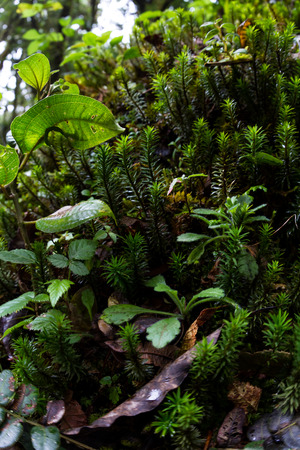 reconstruct: close up with a wide angle of a rainforest ground cover plants in Costa Rica