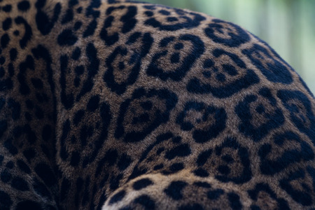 tigre: close up of the pattern of a jaguar in a wildlife refuge in Costa Rica
