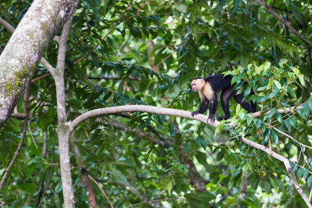 wild white faced monkeys in the trees of the south Pacific Jungle in costa Rica Stock Photo