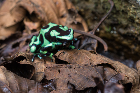 green arrow: close up of a green and black poison dart frog in the Costa Rican rainforest