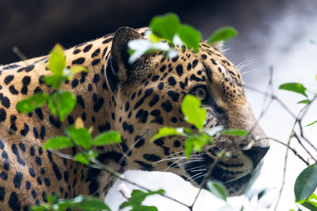 tigre: close up of a jaguar in a wildlife refuge in Costa Rica