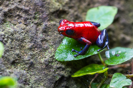 close up of a strawberry poison dart frog in the rain forest in Costa Rica Stock Photo