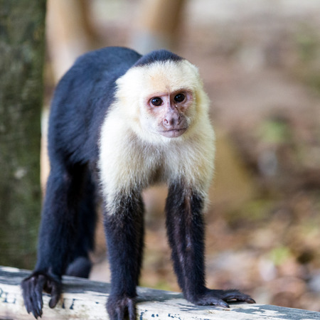 faced: white faced monkey in Manuel Antonio natural park in Costa Rica
