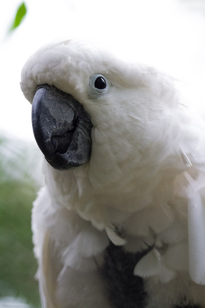 close up of a beautiful  white cockatoo over a bright background Stock Photo