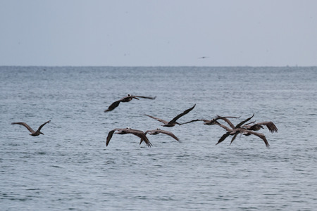 squadron: panic shot for motion effect on a squadron of brown pelicans flying above the pacific coast in Panama
