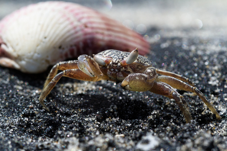 close up of a small sand crab hidden in plain sight on a black sandy beach