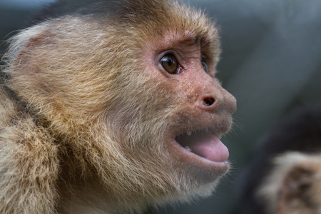 close up of the face of a white faced capuchin monkey in a zoo in Panama