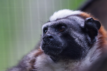 sad looking monkey captured in a cage for display and attraction in Panama