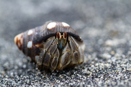 close up of a small hermit crab in a tropical Panamanian beach