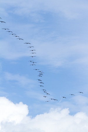 squadron: squadron of brown pelicans flying above the pacific ocean in Panama