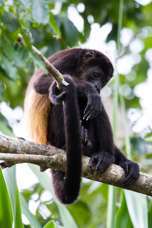 howler: tropical scene with a young mantled howler up a tree in the Nicoya Peninsula in Costa Rica