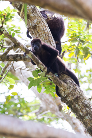 tropical scene with a young mantled howler up a tree in the Nicoya Peninsula in Costa Rica