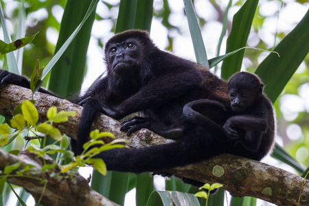 howler: tropical scene with young howler monkey family up a tree in the Nicoya Peninsula in Costa Rica