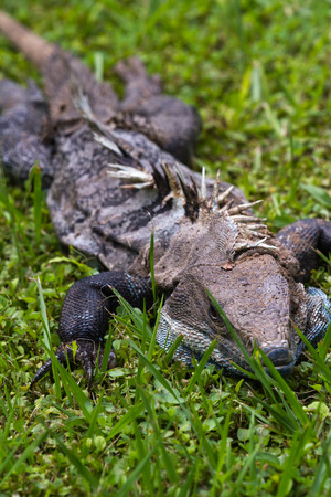 spiny: close up of a wounded spiny iguana laying on green grass Stock Photo